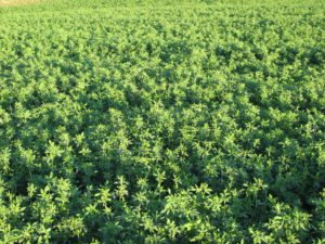 Effective Alfalfa Stand Management
