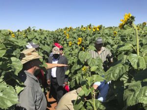 AGCO Africa Crop Tour 2018: Sunflower Downforce and Deltaforce study