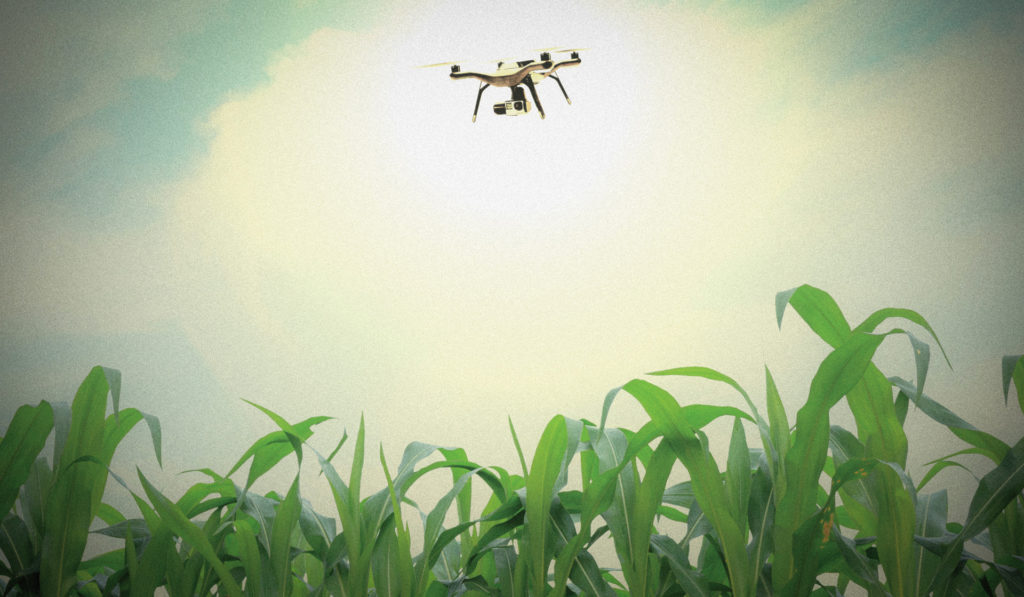 A drone hovers over a corn field.