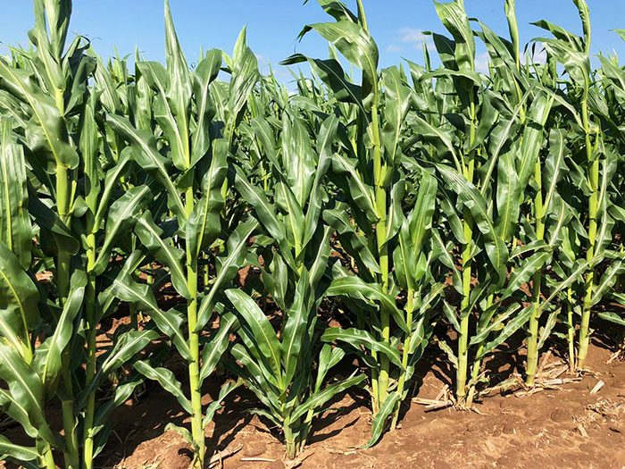 Crop Tour maize plot in South Africa