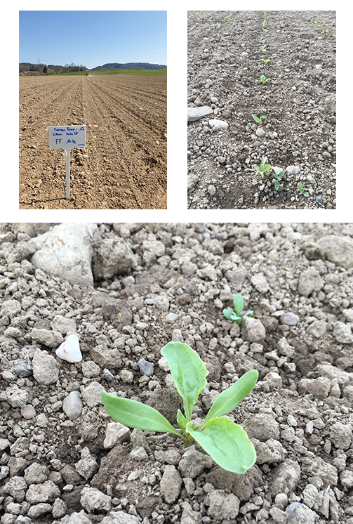 Impressions from the 2020 Crop Tour sugar beet trial plot