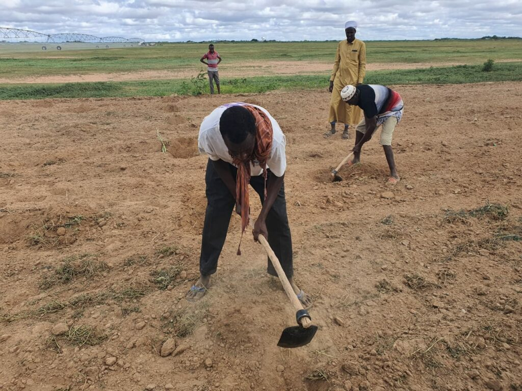 Two men use hand tools to till soil while another looks on.